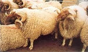 وزارة الزراعة: رقم وطني للثروة الحيوانية