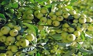 تخصيص 44 مليون ليرة لتعويض مزارعي التفاح من البرد في اللاذقية
