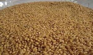 لنهاية آب الماضي.. 520 ألف طن كميات الحبوب المستلمة