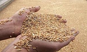 الزراعة: 6200 مستفيد من منحة البذار في حلب