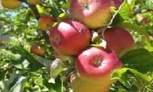 خلال 3 أعوام.. 38% متوسط صادرات التفاح من المنتج المحلي