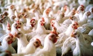 نفوق10285 طير دجاج تسمماً بسبب انقطاع الكهرباء