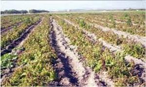 الصقيع يضرب المحاصيل الزراعية في 7 محافظات