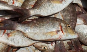 مشروع الثروة السمكية يهدف إلى زيادة نصيب الفرد من الأسماك