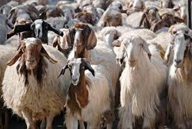 لخفض أسعار اللحوم..التجارة الداخلية  تقرر إيقاف تصدير الأغنام قبيل عيد الأضحى