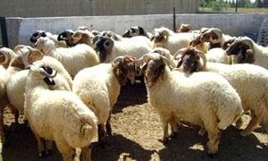 الحلقي يوافق على تصدير 120 ألف رأس غنم