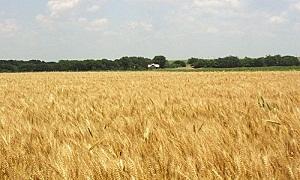 الحكومة توافق على تعديل مساحات القمح المروي