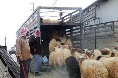 25 مليون رأس ماشية في سوريا... والقمح والحمضيات تفوق المليون طن