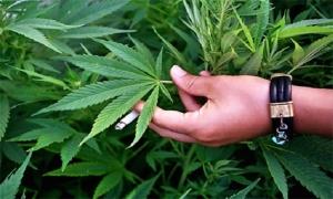 مسؤول يؤكد: سورية خالية تماماً من زراعة المخدرات