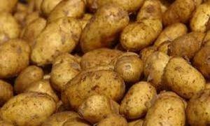 الحكومة توافق على تمويل مزراعي البطاطا بقروض قصيرة الأجل