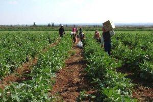 آفة خطيرة تؤدي لهلاك المحاصيل الزراعية بالكامل في الغاب