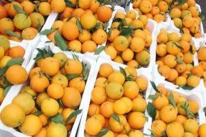 تصدير الحمضيات السورية إلى لبنان ابتداء من تشرين الثاني الحالي