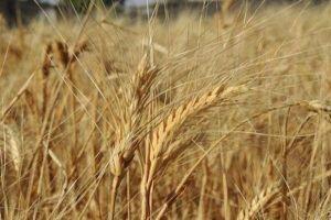 هيئة تطوير الغاب تقدر أن يصل إنتاج القمح إلى 136 ألف طن الموسم الحالي