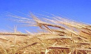تخصيص 70 مليار ليرة لاستلام موسم الحبوب من القمح والشعير هذا العام