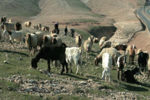 وزارة الزراعة تؤكد: أكثر من 50% تراجع تربية الدواجن و40% تراجع تربية الأغنام في سورية