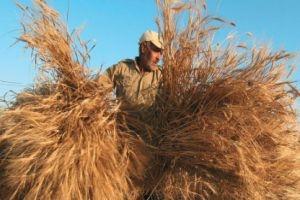 الحكومة تدرس رفع سعر شراء القمح من الفلاحين إلى 100 ليرة
