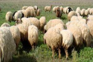 عدد المواشي بالغوطة الشرقية انخفض 60%