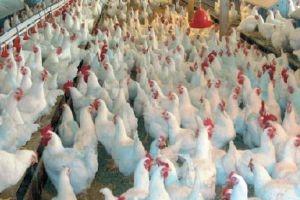 توقعات بارتفاع سعر صحن البيض إلى 1500 ليرة وكذلك الفروج..والسبب!!