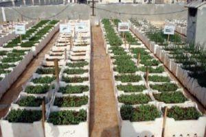 خبير زراعي: حدائق دمر وضاحية قدسيا تكفي دمشق من الخضر