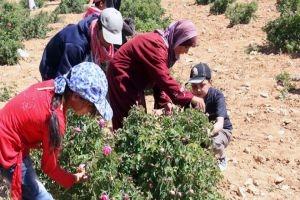 أغلى من الذهب...سورية تنتج ألف طن من الوردة الشامية