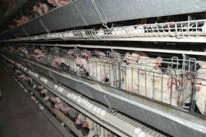 اتحاد غرف الزراعة يطلب توفير تمويل سريع لمربي قطاع الدواجن