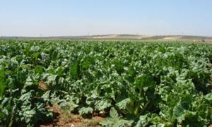 الزراعة: 390 ألف هكتار المساحات المزروعة بالقمح منذ بداية الموسم