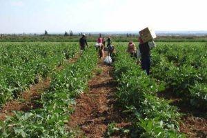 التأمين الزراعي على الأعمال والمحاصيل الزراعية..قريباً في سورية