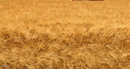 حصاد القمح يبدأ مطلع الشهر القادم ومراكز استلام الحبوب جاهزة لاستقبال المحصول..