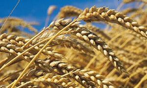 الزراعة: سعر القمح القاسي أعلى من القمح الطري