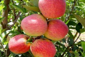 ظاهرة نادرة عالمياً... اكتشاف نوع نادر جداً من التفاح الملون في أحد بساتين سورية