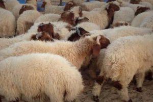 مع بدء المطالبات بالتصدير... وزير الزراعة يؤكد: من المبكر الحديث عن تصدير الأغنام