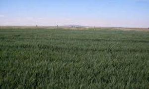 زراعة القمح في الغاب لم تتجاوز 50%..والشوندر يتضرر بنسبة 80% بسبب الصقيع