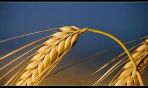 فرع حماة يسوق 175 الف طن من القمح