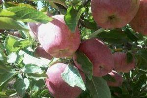 وزير التجارة: شراء كامل محصول التفاح وتوفر السيولة اللازمة لتسويقه