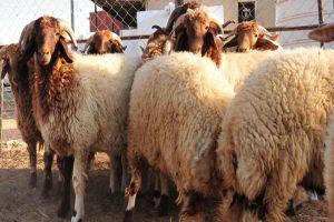 سعر كيلو لحم الأضاحي يرتفع 500 ليرة والسبب التهريب والمواصلات والأعلاف