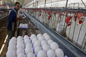 مؤسسة الدواجن تعلن حالة الاستنفار لوقاية الدجاج من البرد