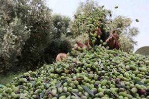 غرف الزراعة: انخفاض إنتاج الزيتون في سورية  30%