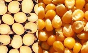 الاقتصاد تسمح لمربي الدواجن باستيراد فول الصويا والذرة الصفراء