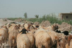 الجمارك: تهريب الأغنام يتم من سورية إلى العراق