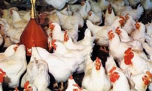 الزراعة تطلب من الحكومة تمويل مربين الدواجن بقروض ميسرة وبفوائد مخفضة