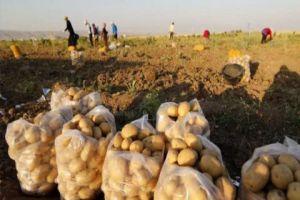 الزراعة تتوقع إنتاج يفوق  400 ألف طن من البطاطا الموسم الحالي