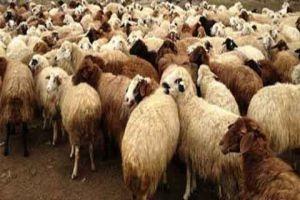 وزارة الزراعة تتريث بتصدير الأغنام