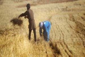 الفاو: الكويت تقدم 3 ملايين دولار لمزارعي سورية