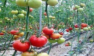 دراسة: لا يوجد سياسة تسويقية محددة تحم إنتاج محصول البندورة في سورية