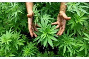 ضبط 275 شجيرة من نبات القنب الهندي المخدر بحديقة منزل في ريف دمشق