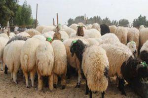 مسؤول يقول: سعر كيلو الاضحية ينخفض من 2300 إلى 1650 ليرة