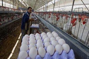 أسعار البيض تحلق ومربو الدواجن يقولون: هل نحن أولاد البطة السوداء؟