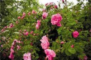 مديرية زراعة ريف دمشق تتوقع إنتاج نحو90 طناً من الوردة الشامية