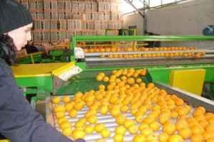زراعة اللاذقية تسعى لتسويق كامل محصول الحمضيات والتفاح