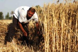 لماذا ازداد إنتاج الشعير..وأين يذهب القمح؟